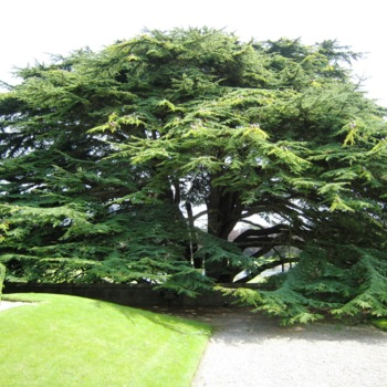 Zaytoun_Family_IrelandCedarTree.jpg